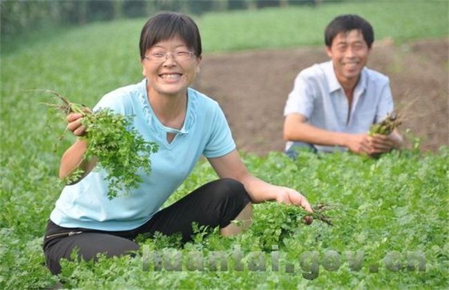 香菜 高产 种植方法