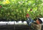 百香果的种植技术