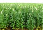 芝麻高产施肥技术