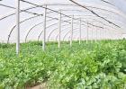 如何种植香菜才能获得高产