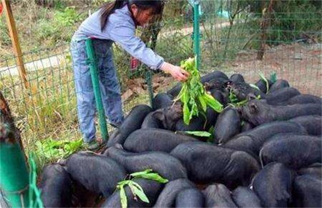 黑豚该怎么养殖
