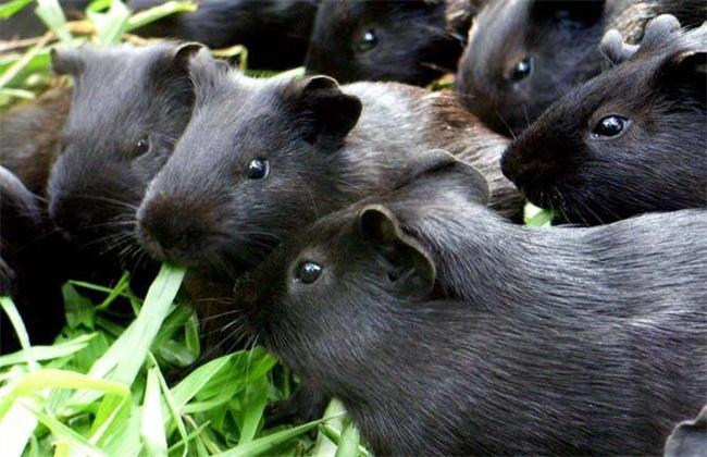 黑豚 养殖 方法