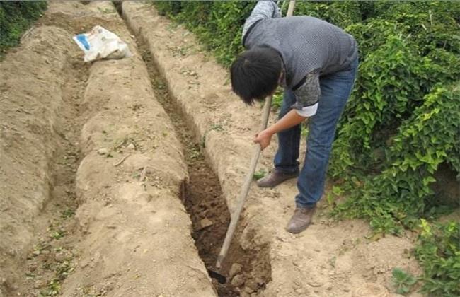 山药高产施肥技术