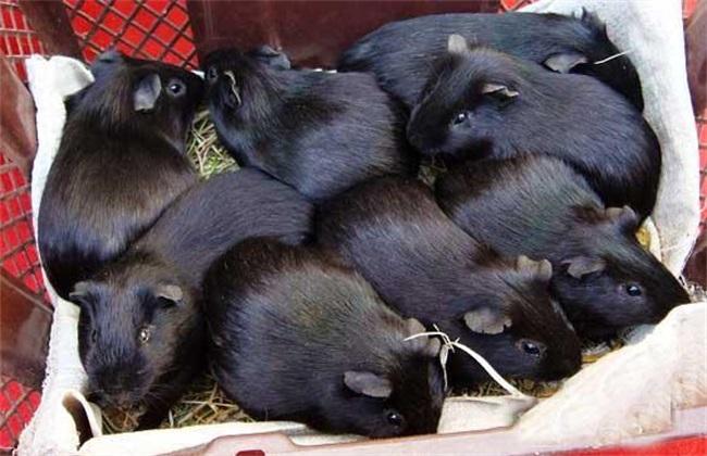 常见疾病 黑豚 防治方法