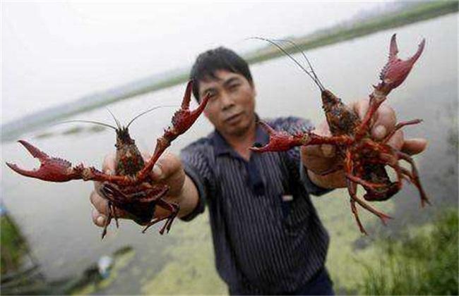 龙虾 具体流程 养殖