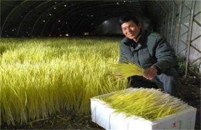 蒜黄种植技术