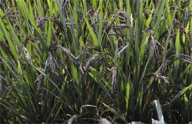 黑米种植技术