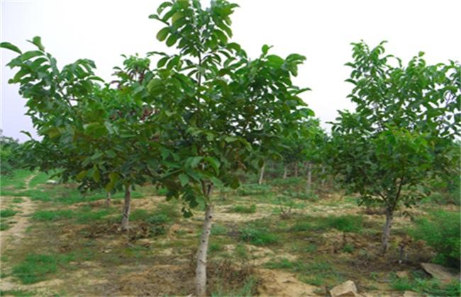 核桃树 管理要点 种植