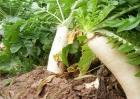 萝卜空心的原因及防治方法