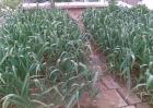 蒜苗黄叶干尖的原因及防治方法
