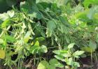 黑豆种植技术