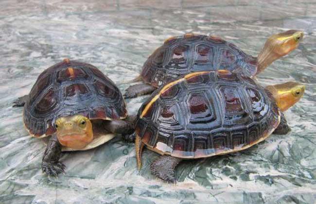 经常不清理很容易滋生细菌,最后导致龟壳腐烂而亡.