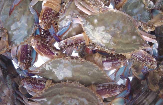 梭子蟹 方法 养殖