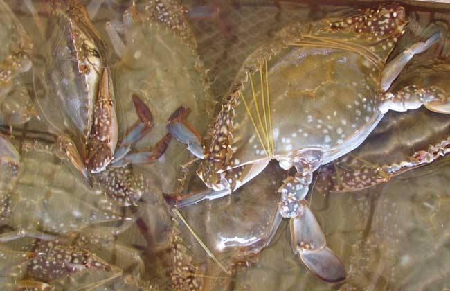 梭子蟹的日常管理
