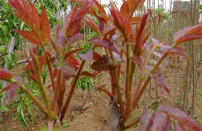 香椿种植技术