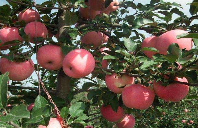 苹果该怎么种植