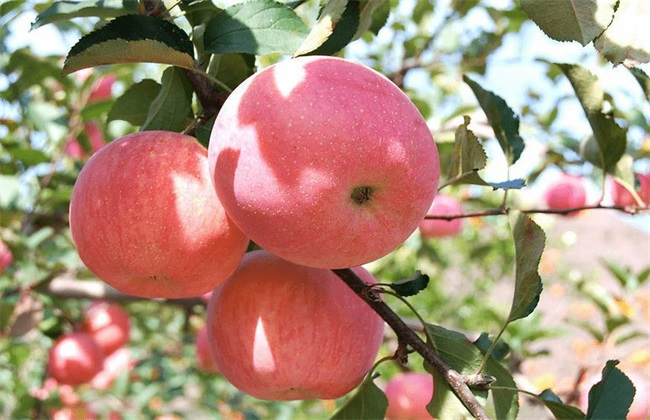 苹果 种植 方法