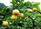 种植梨子的环境要求
