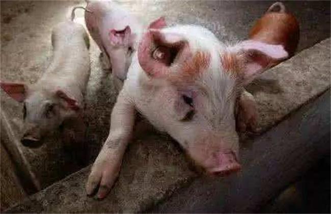僵猪的产生原因及防治方法