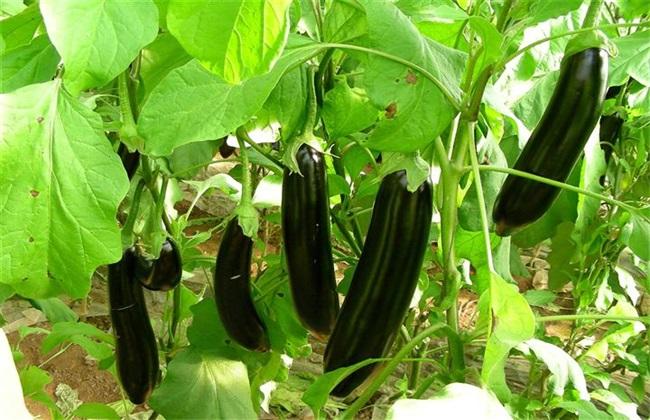 栽培技术 茄子 无公害