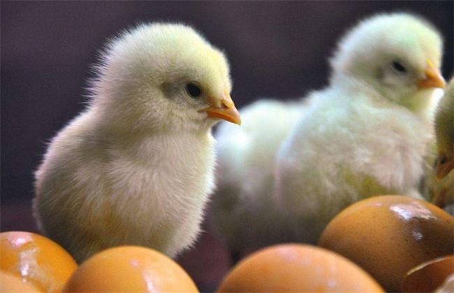 雏鸡开食的时间和方法