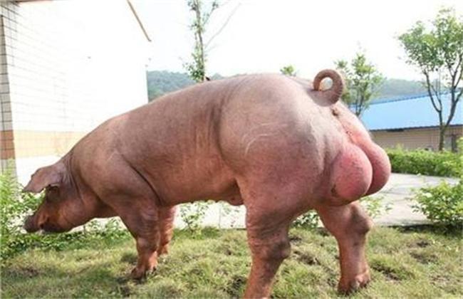 种公猪饲养管理要点全部内容