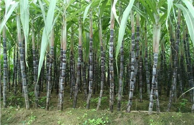 甘蔗 管理要点 拔节期