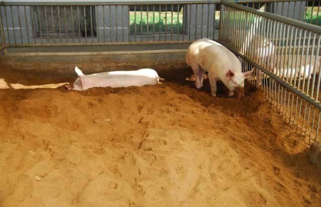 发酵床养猪注意事项