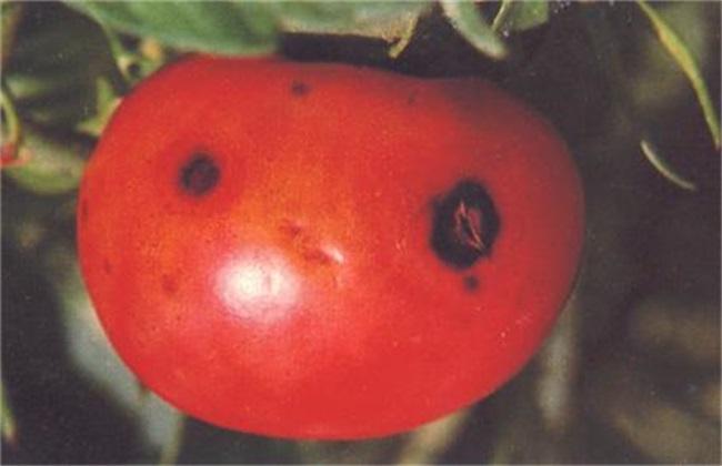 西红柿烂果 原因 防治方法