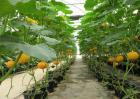 冬季南瓜种植的管理要点