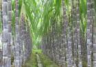 甘蔗拔节期的管理要点
