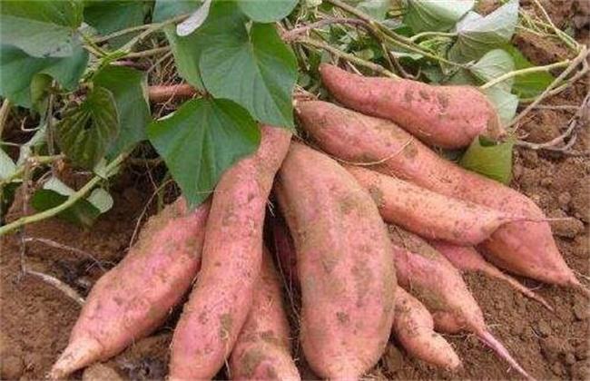 红薯 注意事项 种植