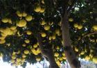柚子树的高产栽培技术