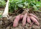 种植红薯的注意事项