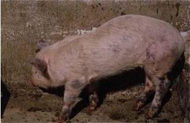 猪蓝耳病预防治疗方案