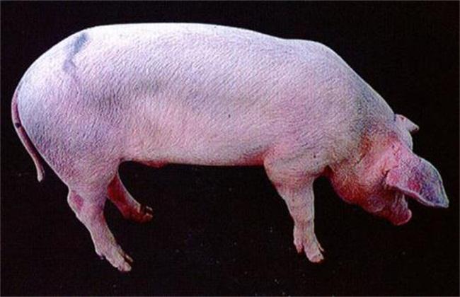 猪蓝耳病图片