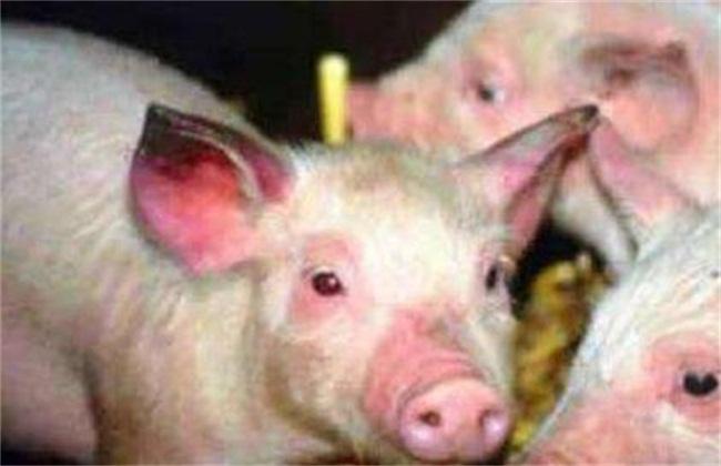 猪蓝耳病图片3