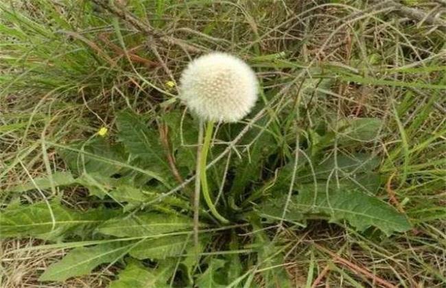 多裂蒲公英种植前景
