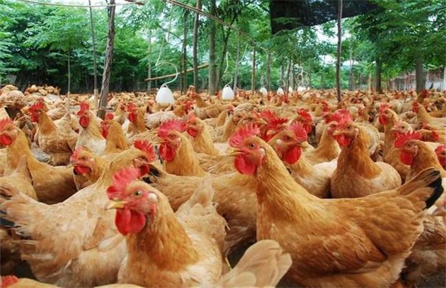 肉鸡养殖产量低该怎么办