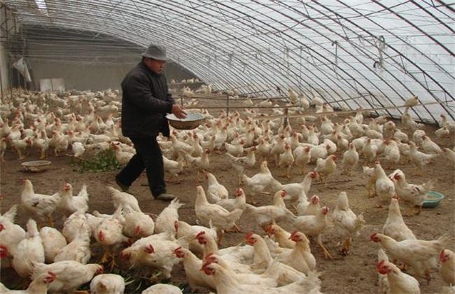肉鸡 产量低 怎么办