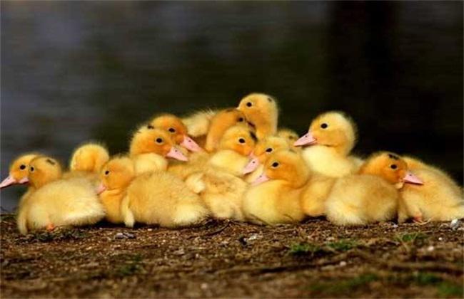 培育雏鸭时的注意事项
