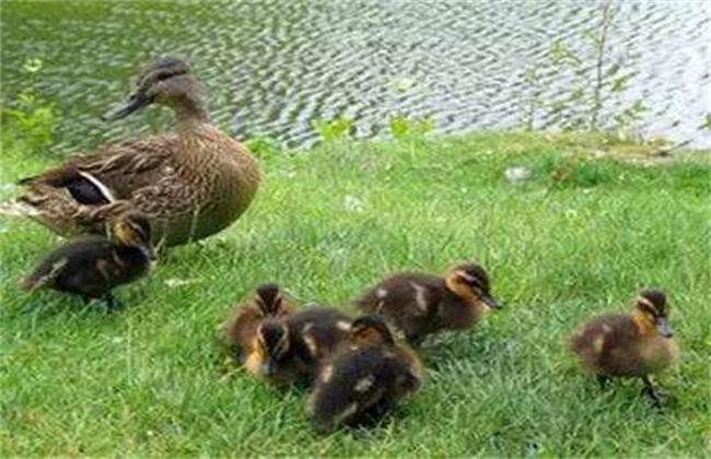 注意事项 培育 雏鸭