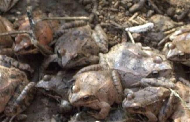 林蛙安全越冬技术