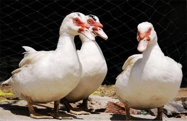番鸭的饲养管理