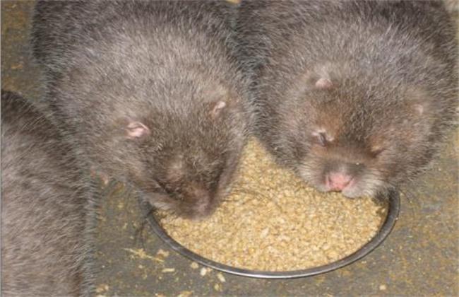 鉴别竹鼠怀孕的方法