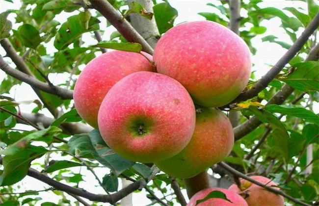 苹果 原因 早衰