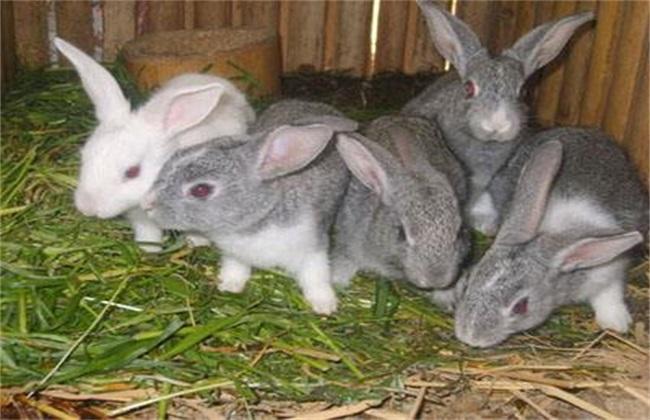 肉兔 养殖 注意事项
