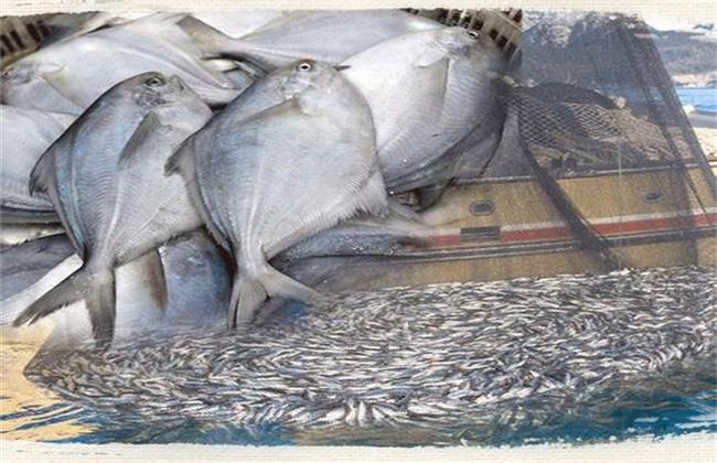 白鲳鱼苗越冬技术