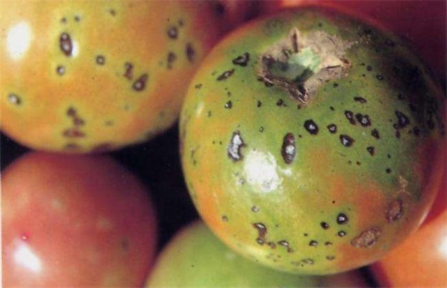 秋季西红柿的常见病害及防治