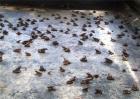 林蛙的养殖技术